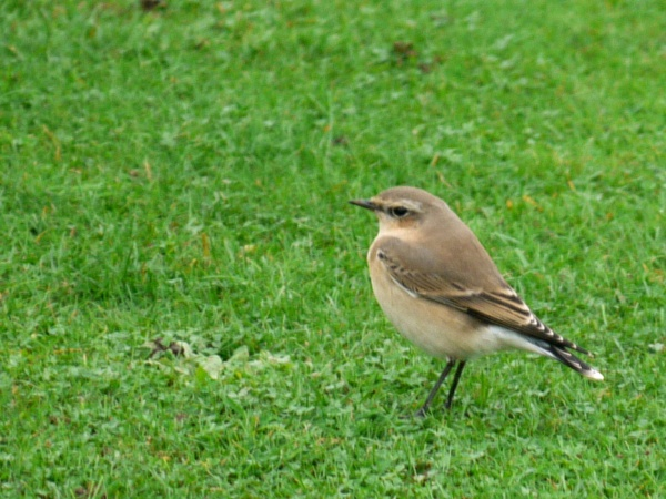 Wheatear by DerekHollis