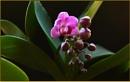 """Phalaenopsis  """"Peppermint crisp"""" by fotobee"""