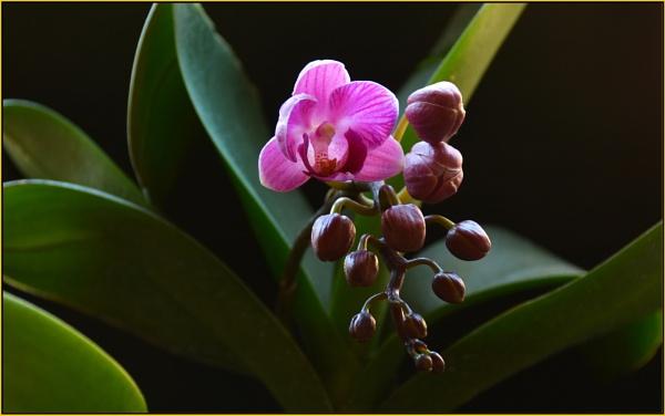 """Phalaenopsis  \""""Peppermint crisp\"""" by fotobee"""