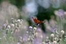 peacock butterfly by tarkalove