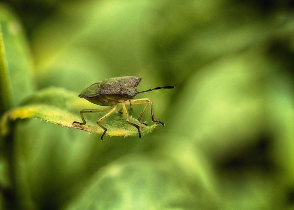 Sheild Bug by iangilmour