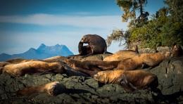 Sea Lions, Hanson Island, British Columbia