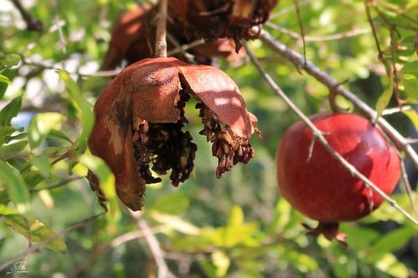 Pomegranate Tree by SHR