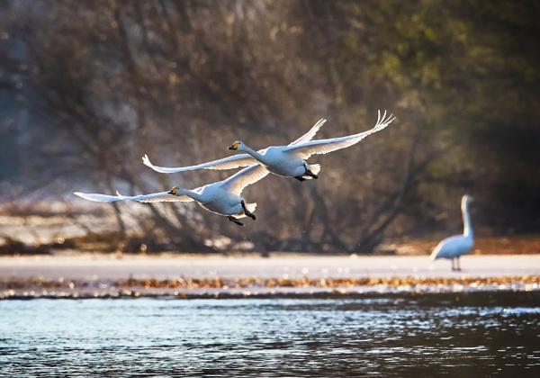 Whooper swans in spring by hannukon