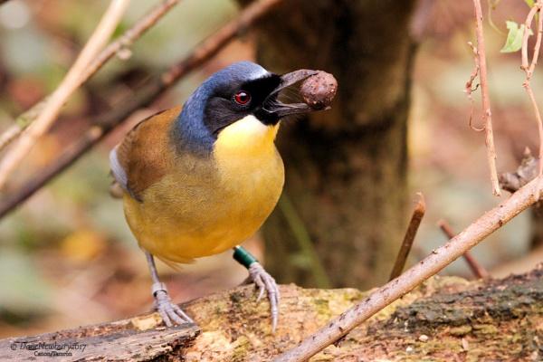 Blue crowned laughingthrush (Courtois\'s laughingbird) by DaveNewbury