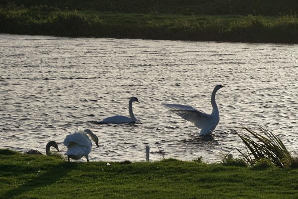 Swans by tincanstorm
