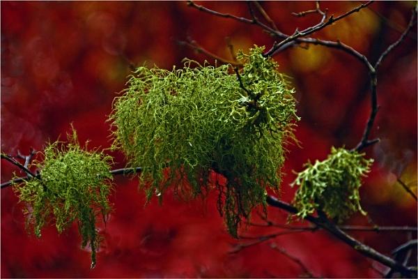 Lichen by dven