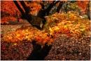Autumn Acer by dven