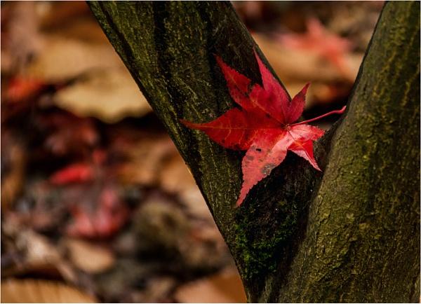 Fallen Leaf by dven