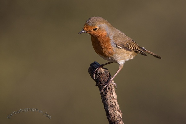 Inquisitive Robin by photographerjoe