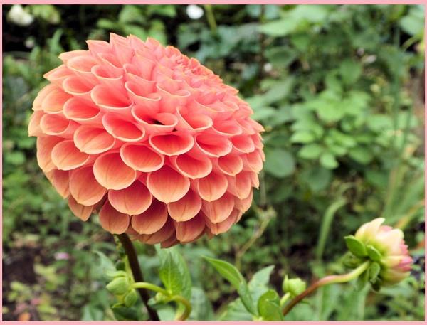 Pink Pom-Pom by Rock