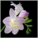 Freesia by Sylviwhalley