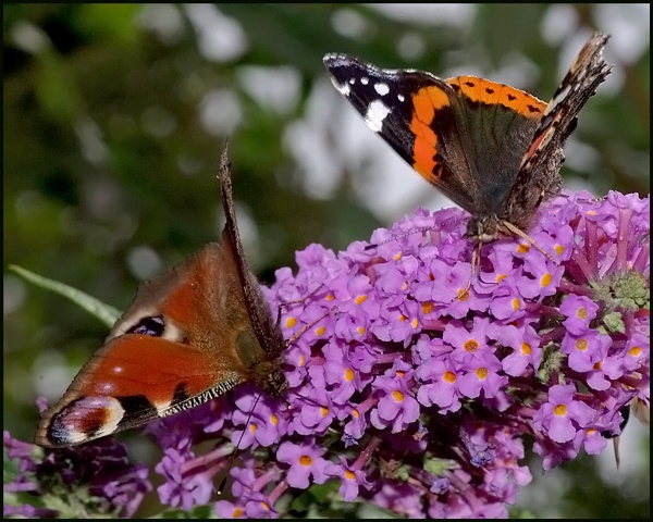 Red Admiral and a Peacock on a Buddleia. by Badgerfred