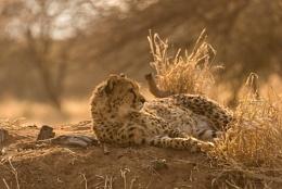 Cheetah at rest Namibia