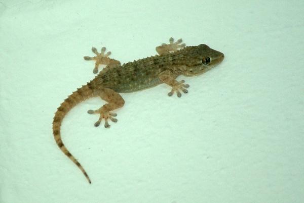 Wall Gecko by TonyDy