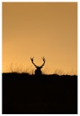 Red stag by ROB1972