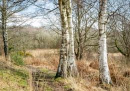 Silver birches in winter