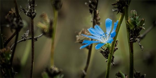 Wild Chicory by Dixxipix