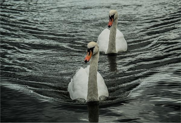 Swan Convoy by Dixxipix