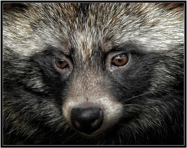 Raccoon Dog by PhilT2