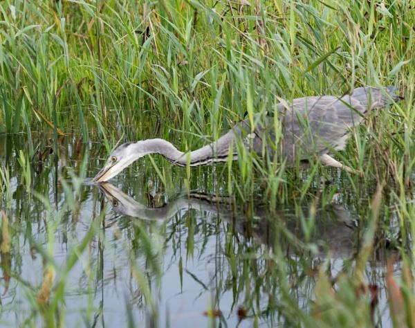 Grey Heron by jasonrwl