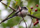 Long Tailed Tit in Hawthorne Tree by peterkin