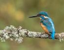 Male Kingfisher by john_starkey