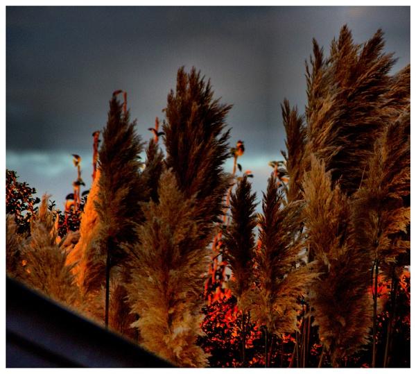 PAMPAS GRASS by kojack