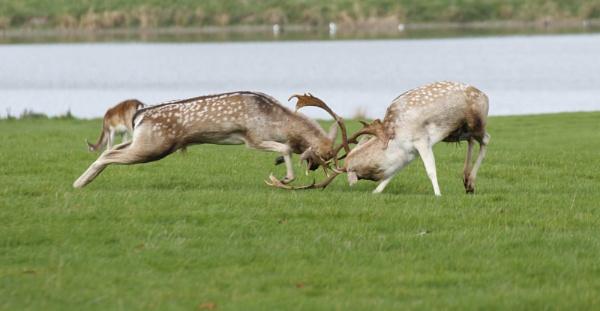 Fallow Deer Rut by ali63