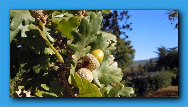 autumn acorn by laura1