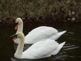 amazing gliding swans