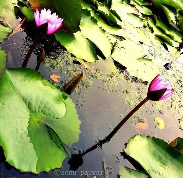 lovely lotus by sonupanwar