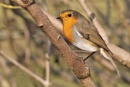 Robin-Erithacus rubecula. by bobpaige1