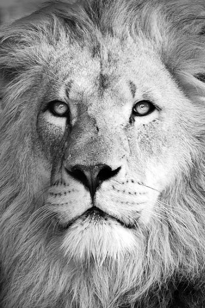Lion gaze by BiffoClick