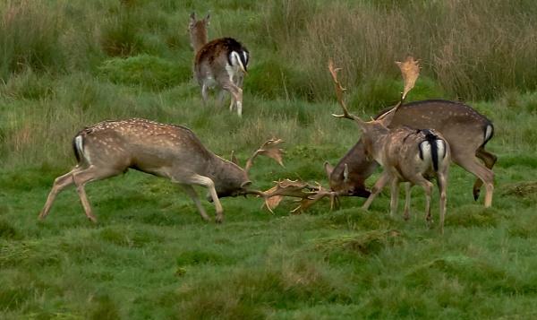 Petworth Deer by JJGEE
