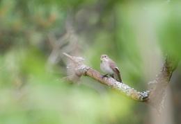 Flycatcher at work