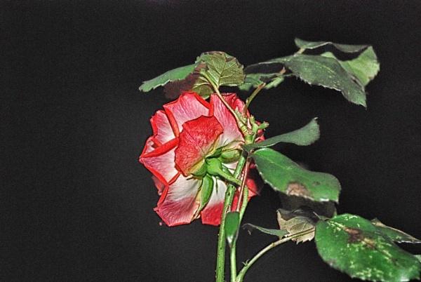 Rose by KrazyKA