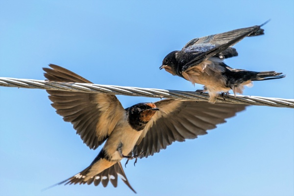 Swallows by geoffgt