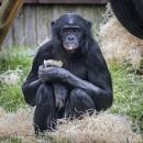 Bonobo Chimpanzee - Pan