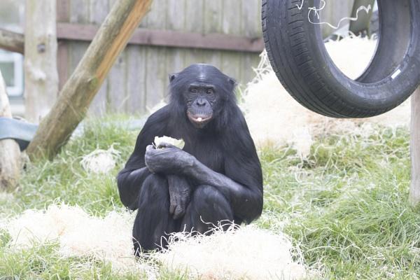 Bonobo Chimpanzee - Pan by admphotography