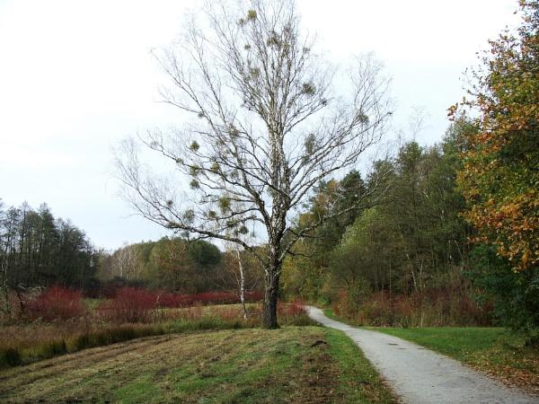 Autumnal Series - Birch Tree by PentaxBro