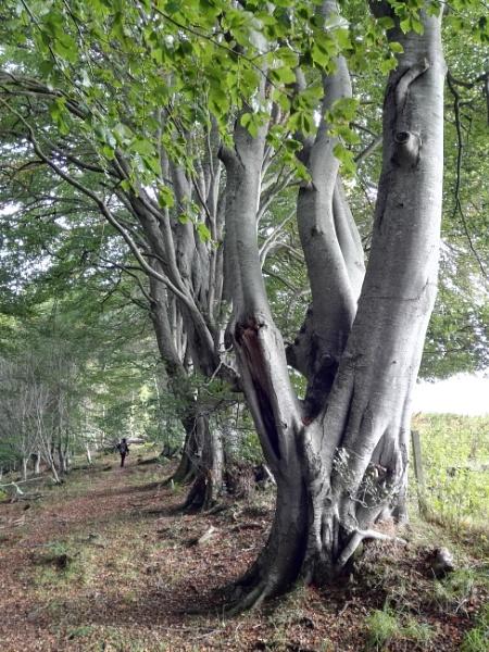 Autumnal Series - Beech Trees Avenue by PentaxBro