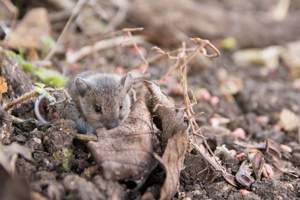 Field Mouse Hiding by JMurr