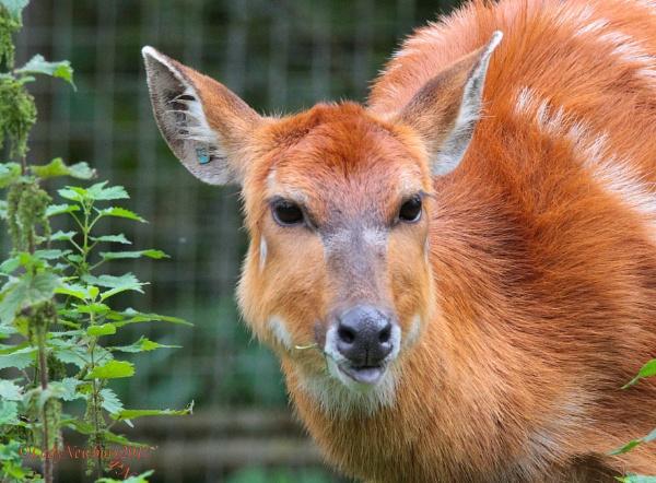 A female Nyala antelope. by ladynewbury