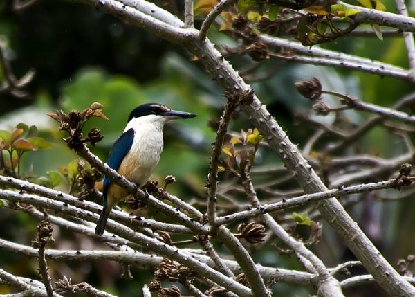 Kawau Kingfisher (2) by barryyoungnz