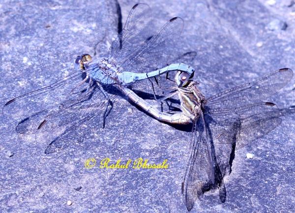 Dragonflies by rahulbhosale