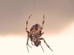 common garden spider