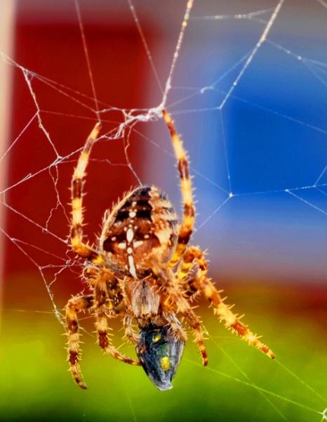 COMMOM GARDEN SPIDER by debbieleigh50