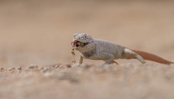desert lizard by Jacobmarady