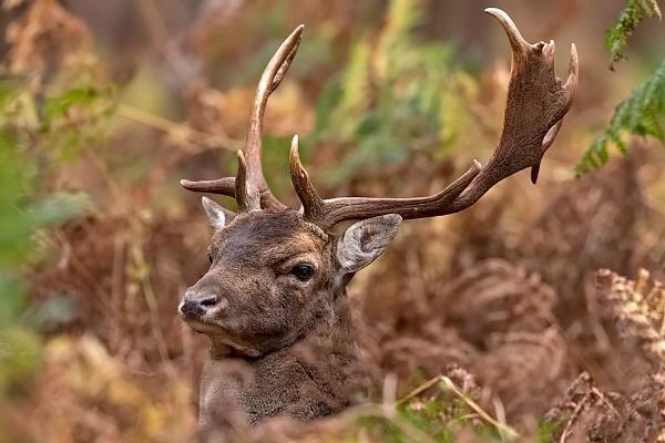 Fallow Deer Buck (Dama dama) by DerekL